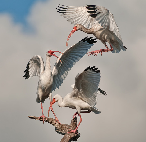 "Crowded Perch<br /> This image of three White Ibis clamoring for a place on the snag was awarded Second Place in the ""Share the View"" International Nature Photography Contest sponsored by the Audubon Society of Greater Denver, CO. 2011<br /> <br /> 2012- Placed in Tier III in NANPA photo competition<br /> <br /> 2012-This image was selected by the Everglades Chapter of the Photographic Society of America to represent the chapter in the regional chapter competitions"