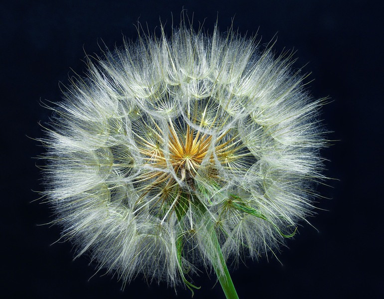 Salsify<br /> Silver Award, International Loupe Open Awards 2011<br /> Silver Award, Better Photography Magazine Photograph of the Year 2011