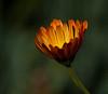 _MG_0006 Budding_Flower<br /> <br /> AV Fair Flower Honorable Mention 8/2012