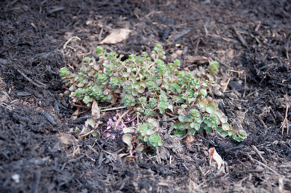 This is stonecrop or sedum.  It will eventually spread to be a ground cover and flower with red flowers.