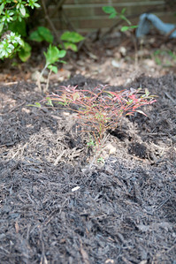 This is a nandina, but a dwarf one.  It will grow up to be about two feet tall and one foot wide.  Just big enough to throw some shade on the azaleas.