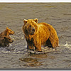 BROWN BEAR MOTHER AND CUBS, KATMAI N.P., ALASKA