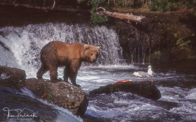 BROWN BEAR AT BROOKS FALLS KATMAI N.P. ALASKA