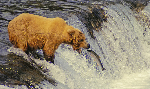 BROWN BEAR CATCHING SALMON AT BROOKS FALLS, KATMAI N.P., ALASKA