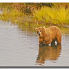 BROWN BEAR WITH SALMON, KATMAI N.P., ALASKA