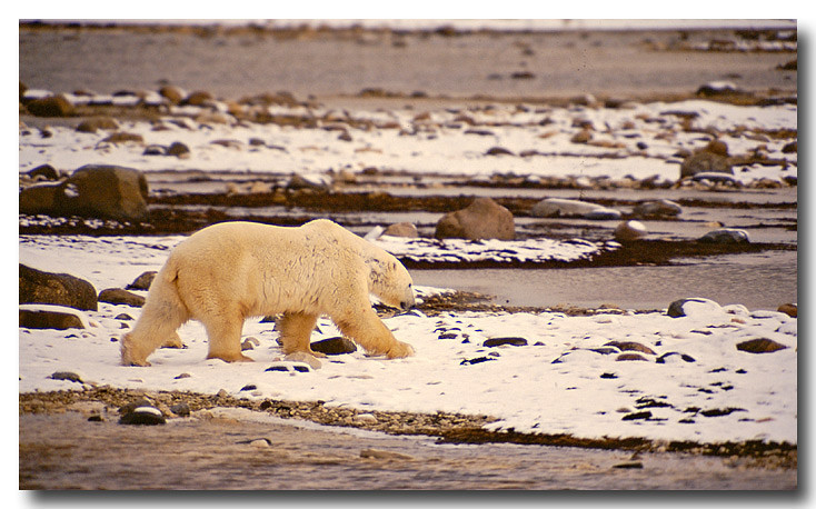 POLAR BEAR ALONG SHORLINE OF HUDSONS BAY, MANITOBA, CANADA