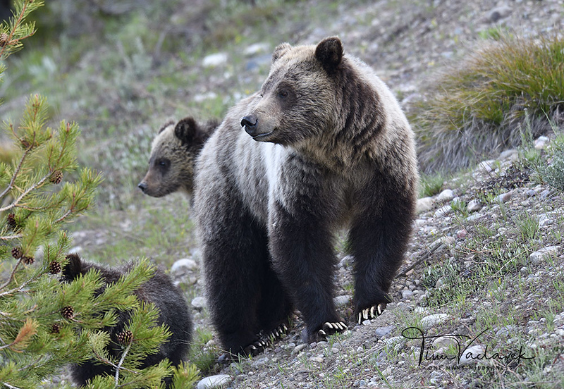 BLONDIE AND CUBS, GRANDTETON N.P.,WYOMING