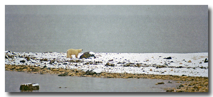POLAR BEAR ALONG SHORELINE OF HUDSONS BAY IN LIGHT SNOW  FALL, MANITOBA, CANADA
