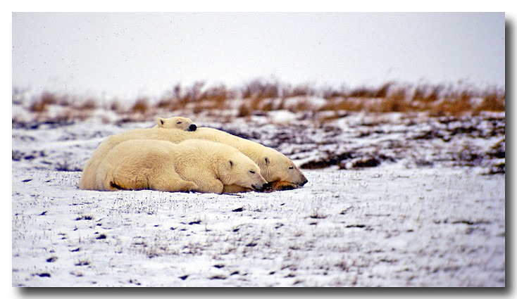 POLAR BEAR MOTHER WITH SUB ADULT CUBS, MANITOBA, CANADA