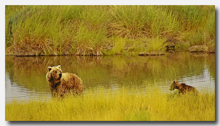 BROWN BEAR MOTHER AND CUB, KATMAI N.P., ALASKA