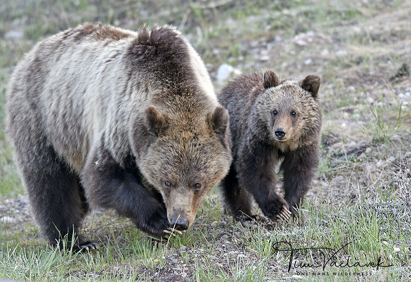 BLONDIE AND CUB, GRAND TETON N.P., WYOMING