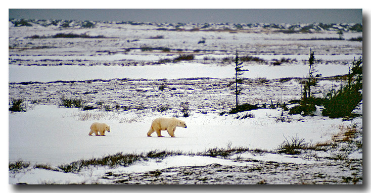 POLAR BEAR MOTHER AND CUB, HUDSONS BAY, MANITOBA, CANADA