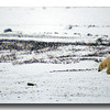 POLAR BEAR NEAR HUDSONS BAY, MANITOBA, CANADA