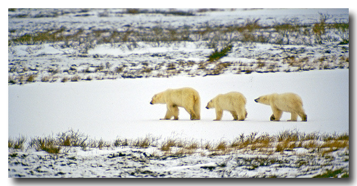 POLAR BEAR MOTHER AND CUBS, MANITOBA, CANADA