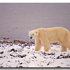 POLAR BEAR ALONG SHORELINE OF HUDSONS BAY, MANITOBA, CANADA