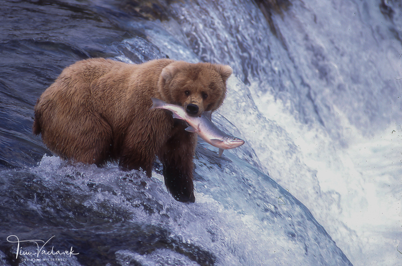 BROWN BEAR AT BROOKS FALLS, KATMAI N.P., ALASKA
