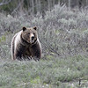 399 ONE BIG GRIZZLY, GRAND TETONN.P., WYOMING