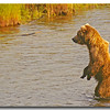 BROWN BEAR FISHING FOR SALMON, KATMAI N.P., ALASKA
