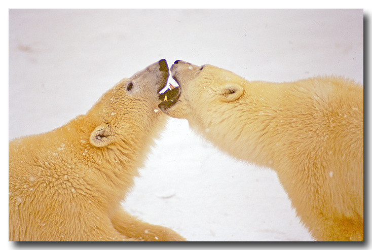 POLAR BEARS PLAY FIGHTING, MANITOBA, CANADA