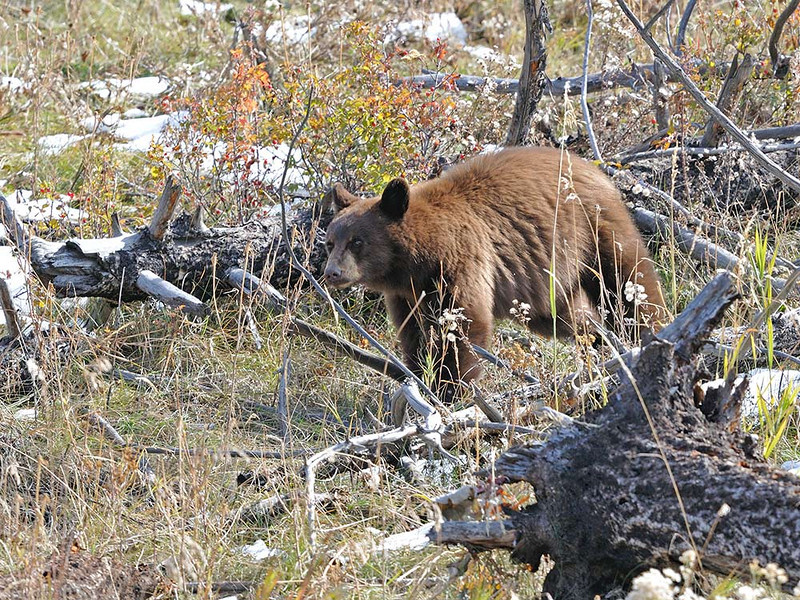 CINNAMON PHASE BLACK BEAR,MONTANA