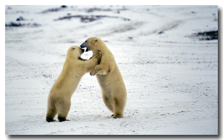 POLAR BEARS PLAY FIGHTING, HUDSONS BAY, MANITOBA, CANADA