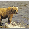 BROWN BEAR, KATMAI N.P., ALASKA