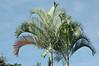 belizian palm