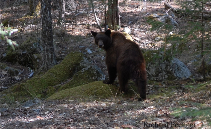 "Close encounter off the trail.  Bear turned towards me as if to say, ""Close enough"""