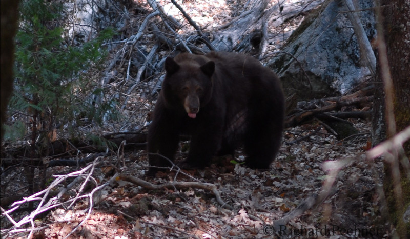 2nd close encounter with a brown bear on the trail east of Mirror Lake.