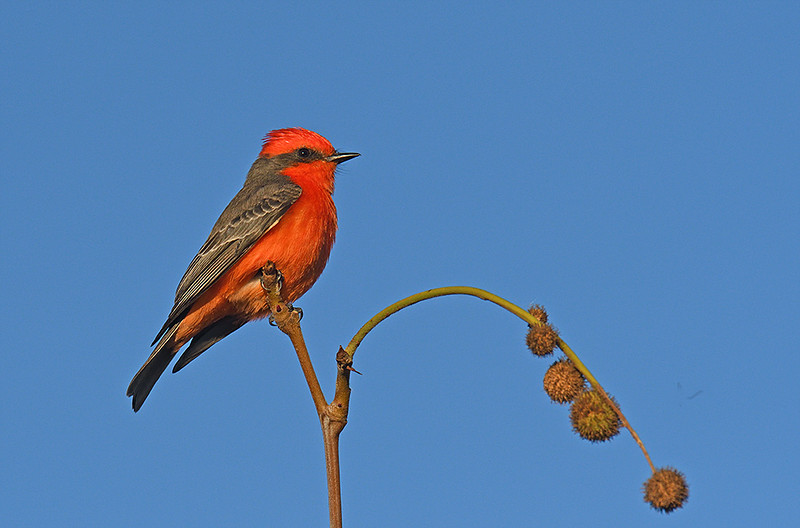 VERMILLION FLY CATCHER, IRVINE, CALIFORNIA