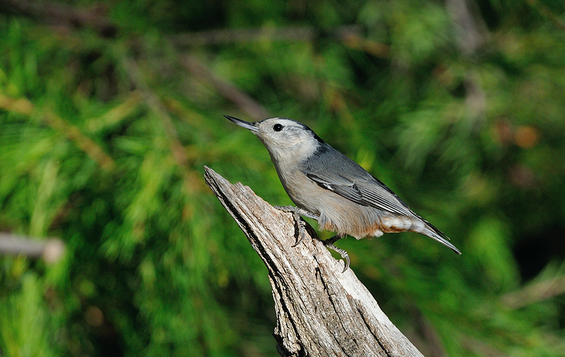 NUTHATCH, DUNLAP, CALIFORNIA