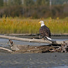 BALD EAGLE, CHILKAT RIVER, ALASKA