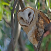 BARN OWL, LAKE JENNINGS, CALIFORNIA