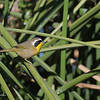 YELLOWTHROAT, LINDO LAKE, CALIFORNIA