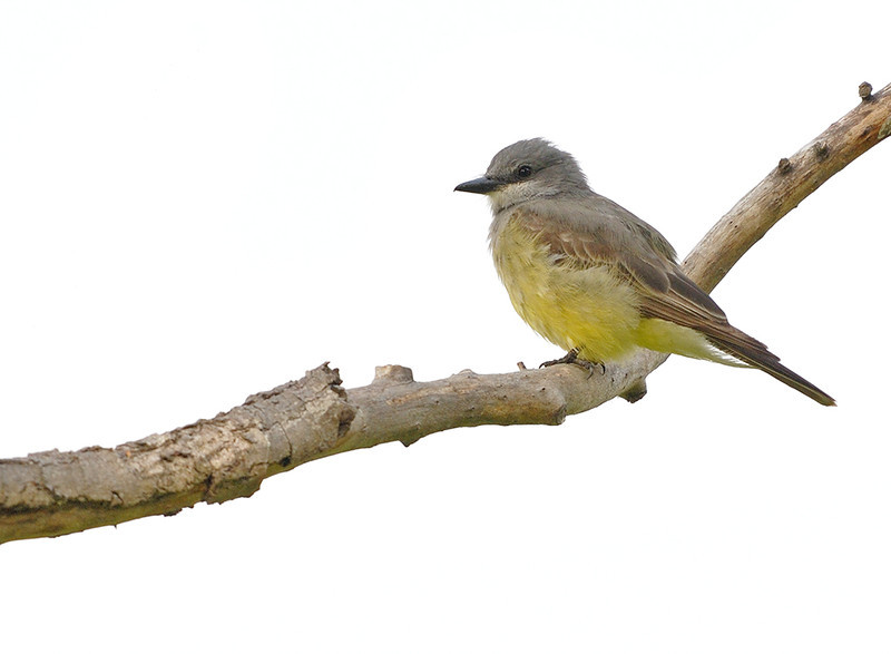 WESTERN KING BIRD, LINDO LAKE, CALIFORNIA