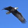 BALD EAGLE, LAKE JENNIINGS, CALIFORNIA