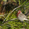 HOUSE FINCH, LAKE JENNINGS, CALIFORNIA