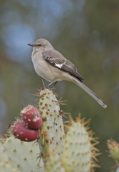 NORTHERN MOCKINGBIRD, LAKE JENNINGS, CALIFORNIA