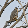 PEREGRINE FALCON, LAKE JENNINGS, CALIFORNIA