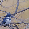 BELTED KINGFISHER, SANTEE LAKES, CALIFORNIA
