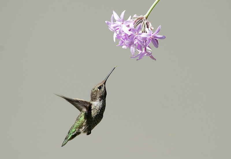 ANNA'S HUMMING BIRD, EL CAJON, CALIFORNIA