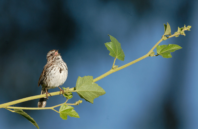 SONG SPARROW, LAKE JENNINGS, CALIFORNIA