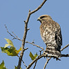RED SHOULDERED HAWK, SANTEE LAKES, CALIFORNIA