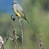 WESTERN KINGBIRD, LAKE JENNINGS, CALIFORNIA
