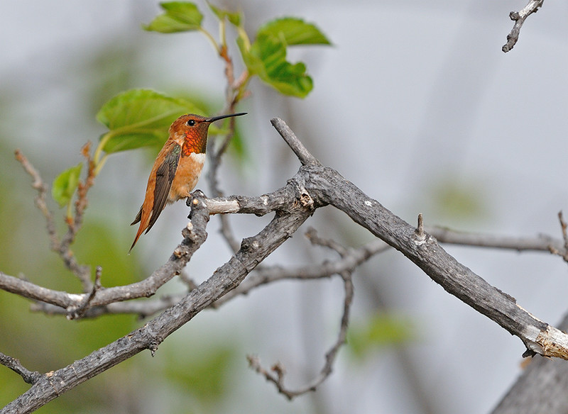 RUFOUS HUMMING BIRD, LAKE JENNINGS, CALIFORNIA