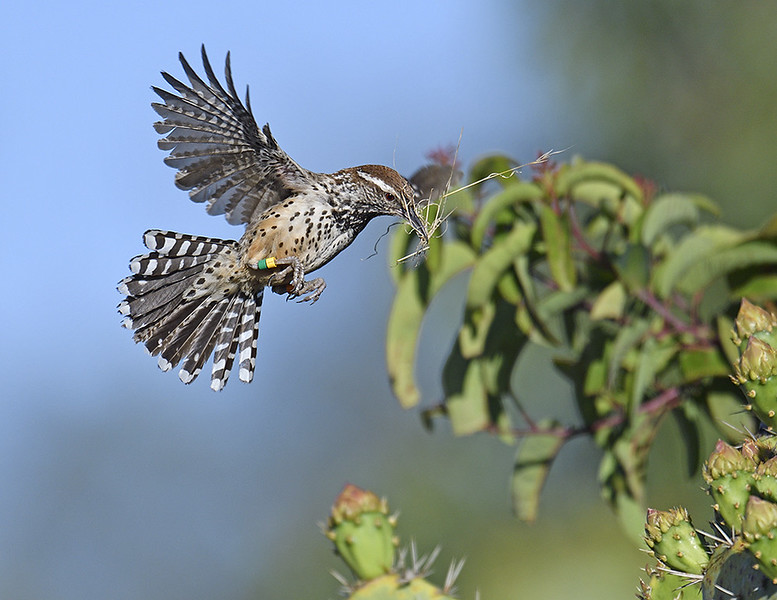CACTUS WREN, LAKE JENNINGS, CALIFORNIA