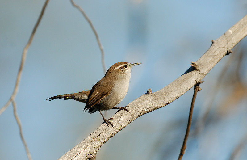 BEWICK'S WREN, LAKE JENNINGS, CALIFORNIA