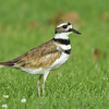 KILLDEER, EL CAJON, CALIFORNIA