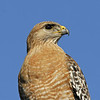 SHARP SHINNED HAWK, EL CAJON, CALIFORNIA