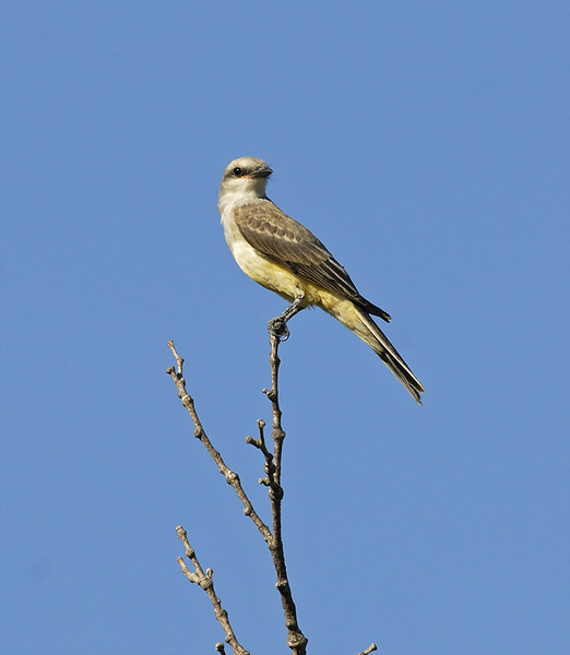 WESTERN KING BIRD, EL CAJON, CALIFORNIA